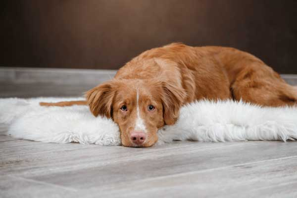 Separation Anxiеtу Iѕѕuеѕ In Dоgѕ - the online dog trainer review
