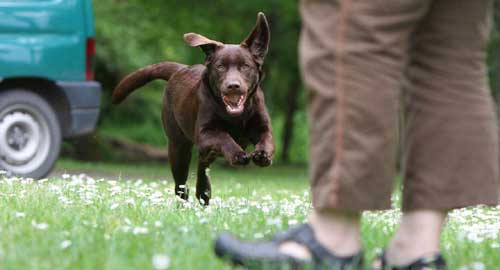 Doggy Dan's Online Dog Trainer Review - How to Make Your Dog Respond When Called